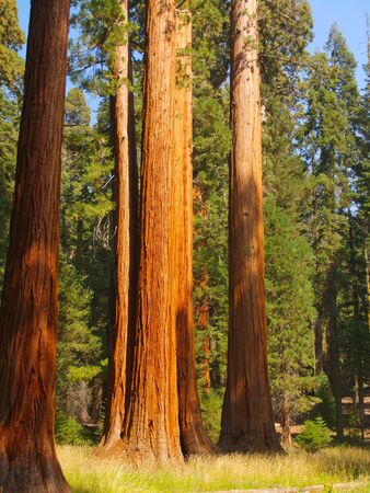 Tall sequoias at the edge of a meadow