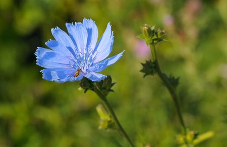 Wild Chicorée Blüte Mit Eine Syrphid Direkt Auf Die Blütenblätter