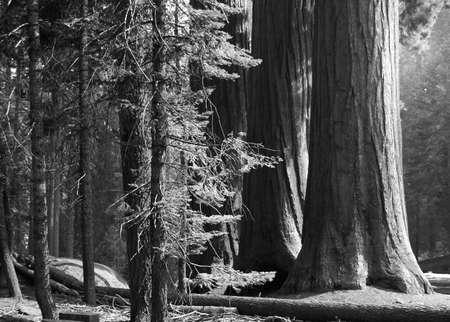 Three stalwart sequoias in morning sunlight, monochrome Reklamní fotografie
