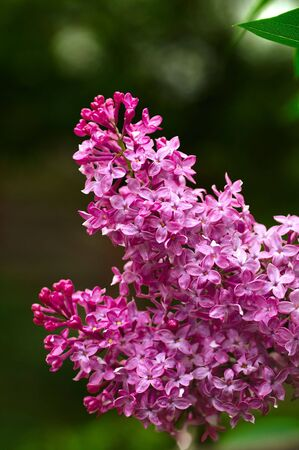 Closeup of a beautiful lilac blossom in spring 写真素材
