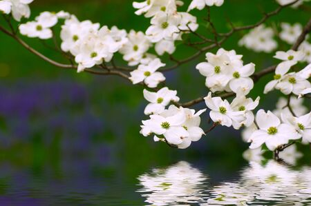 White dogwood blossoms over watery green background with dabs of purple