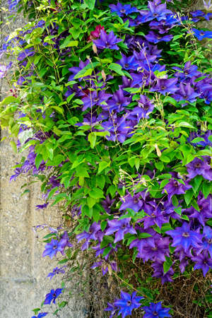 Purple and blue clematis climbing an old stone wall in Salzburg, Austria