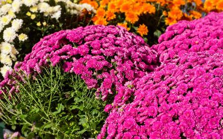 Closeup of chrysanthemums