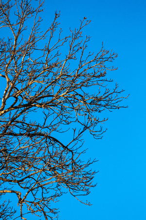 Trees without leaves with blue background