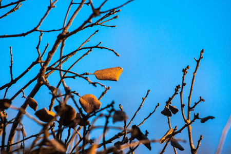 Trees with few leaves and dry about to fall with blue background Stock Photo