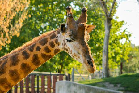 Beautiful short shot of a giraffe (Giraffa camelopardalis rothschildi) with the last rays of sun at sunset 写真素材