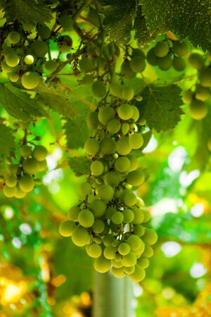 Cluster of grapes hang from a grape vine surrounded by more fruit and sky background and metal structure
