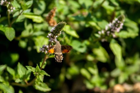 The hawk-moth hummingbird (Macroglossum stellatarum), European hummingbird flying and feeding among flowers Фото со стока