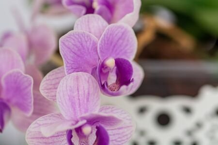 Beautiful purple and white orchid flowers