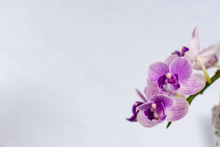 Beautiful orchid flowers of white and purple. With a white background