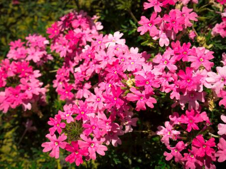 Pretty group of pink and white flowers in a garden surrounded by green leaves