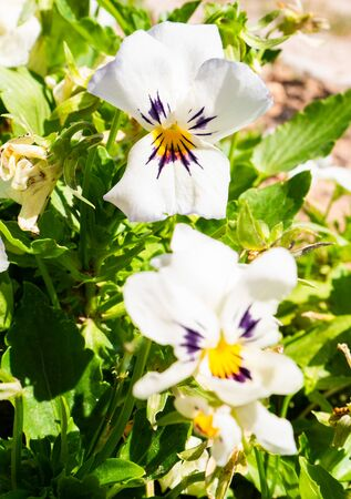 Two pretty white, purple and yellow pansy flowers