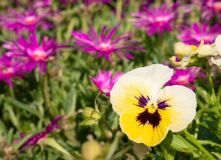 Beautiful pansy white, purple and yellow flower and bunch of flowers Delosperma cooperi (Ice Plant) in the background Stock Photo