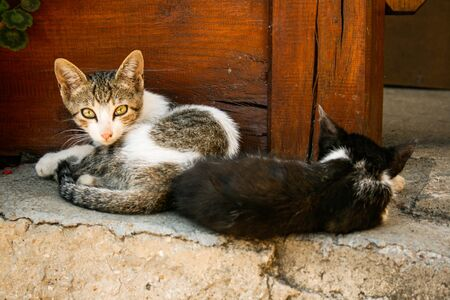 Cats (Felis silvestris catus) Lying on Stone and Looking at the Camera
