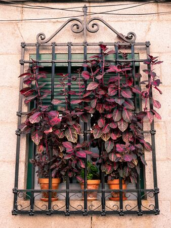 Window with green shutters with an iron fence and long-stemmed plants with pink leaves