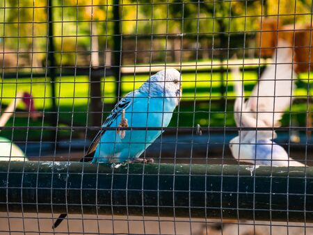 Blue and white parakeet inside a large birdhouse behind bars