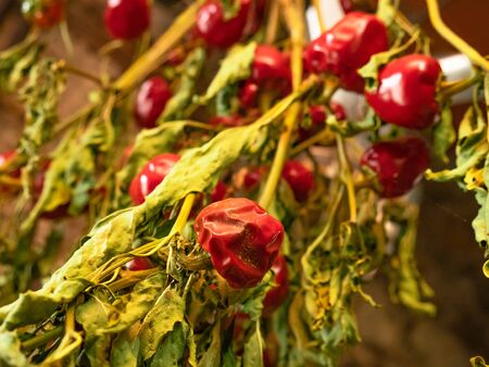 Chilli peppers hung on the plant itself in an interior for drying, Ali Cumbari (Puta Pario)