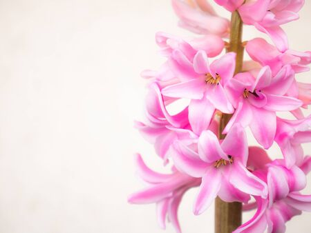 Pink and white flowers of the hyacinth plant on a white background of a wall without cracking