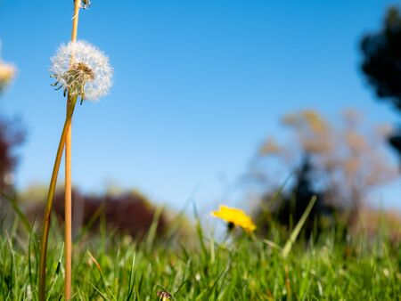 Macro view of a dried dandelion (Taraxacum officinale) among the grass in a garden