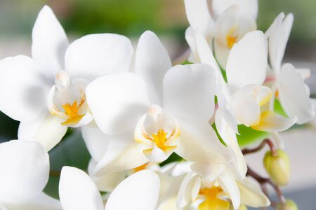 Macro view of beautiful white flowers of Phalaenopsis orchids (Orchidaceae)