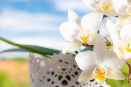 Beautiful white flowers of Phalaenopsis orchids (Orchidaceae) on a nice cloudy blue sky
