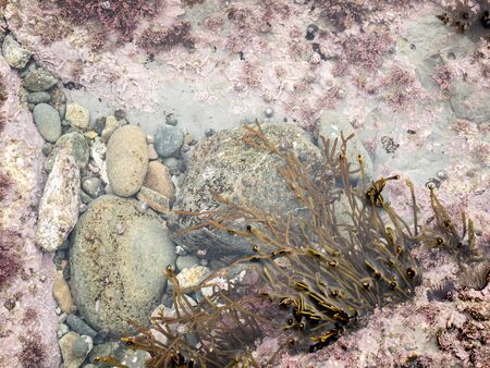 Algae, stones and crustacean remains attached to the rock in the salty water of a pond at low tide in the Cantabrian Sea