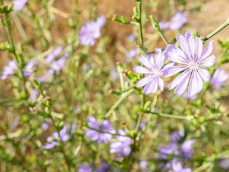 Macro view of a purple flower of a common chicory plant (Cichorium intybus, endive) surrounded by unfocused flowers of the same spice