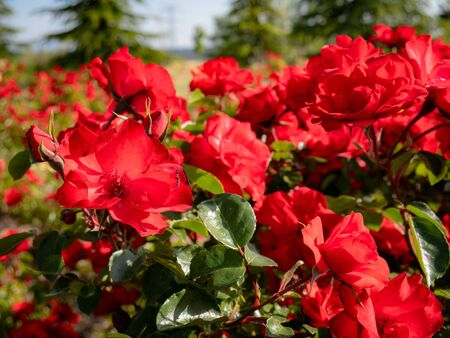 Beautiful background of red flowers with large petals and surrounded by green leaves Фото со стока