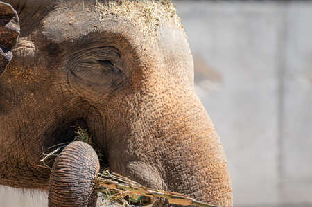 Close-up of an Asian elephant's face as it uses its trunk to eat Imagens