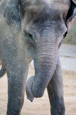 Close-up of an Asian elephant while moving dirt with its trunk Imagens