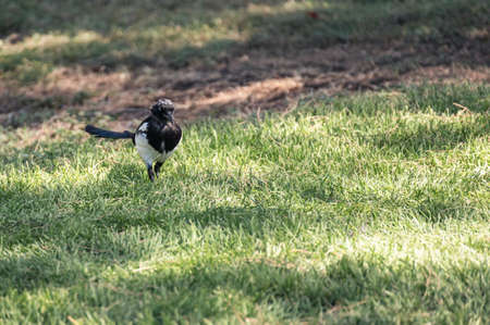 Magpie (Pica pica) of the corvidae family walking through the grass of a city park