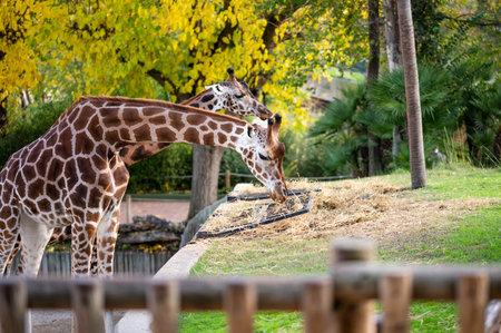 Two giraffes (Giraffa camelopardalis) in captivity eating straw