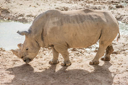 White rhinoceros in captivity in its enclosure standing in the mud and near a pond