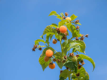 Juicy orange raspberries (Rubus idaeus) ripening on a green leafy plant on a sunny day with a nice blue sky in the background