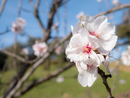 Macro view of beautiful white flowers of almond tree (Prunus Dulcis) on the branches of the tree surrounded by more flowers