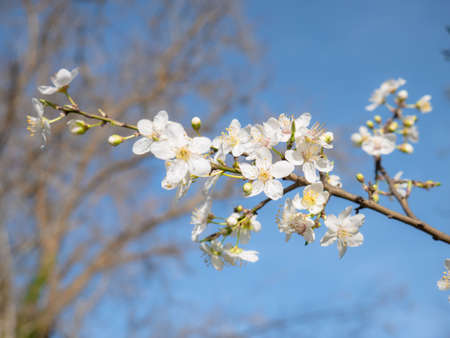 Beautiful white flowers of a Mirabelle tree (Prunus domestica syriaca) with a nice blue sky in the background Banco de Imagens