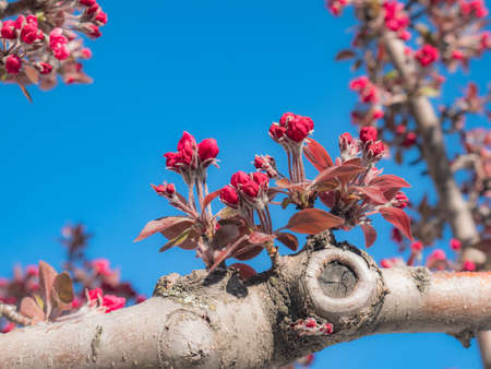 Pink flowers of a Malus Royal Raindrops (Crabapple) tree sprouting from the branches in early spring to create the tiny fruits of tiny apples with a blue sky in the background
