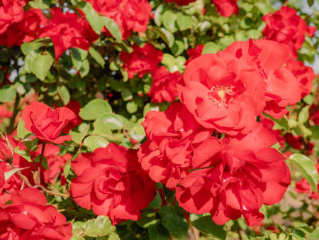 Huge red rose-like flowers surrounded by green leaves forming a natural spring background