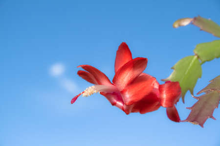 Macro view of a large red flower belonging to a Schlumbergera (Christmas cactus) plant that looks like a bird flying over a blue sky background Banco de Imagens