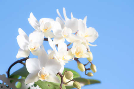 Pretty white flowers of a Phalaenopsis orchid plant (Orchidaceae) with most of its buds open and some closed with a nice blue sky in the background