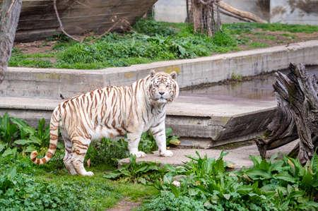 White bengal tiger in captivity walking through its enclosure