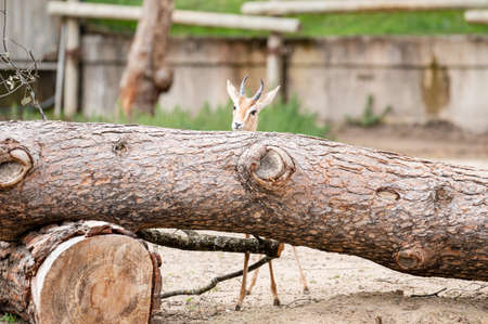 Dorcas gazelle leaning over a large fallen tree trunk on the ground Banco de Imagens