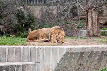 Beautiful lion (Panthera leo) lying in his zoo enclosure