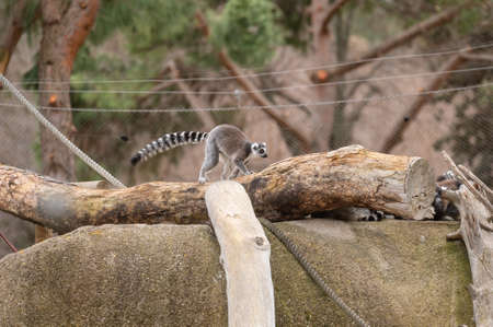Ring-tailed lemur walking over a fallen log on a stone