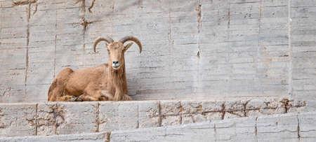 Barbary Sheep (Ammotragus lervia) lying in his zoo enclosure