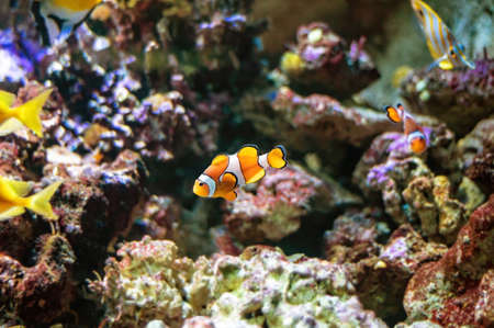 Clownfish or anemonefish (Amphiprioninae) from the Pomacentridae family swimming over a coral reef