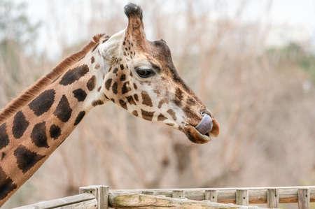 Close-up of a giraffe (Giraffa camelopardalis) sticking its tongue out