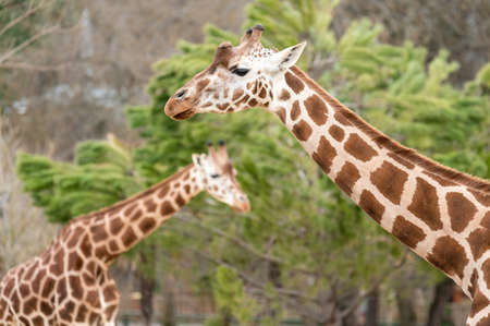 Two giraffes (Giraffa camelopardalis) in front of a leafy tree