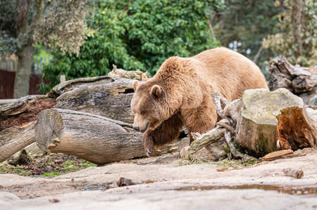Brown bear (Ursus arctos) in captivity walking through its burrow