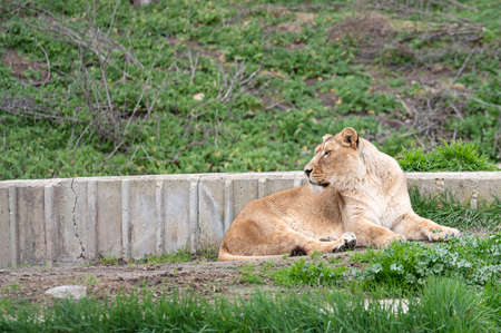 Beautiful female lion (Panthera leo) lying in his zoo enclosure looking at camera